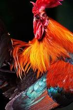 Cock look back, black background