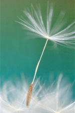 Preview iPhone wallpaper Dandelion flower macro photography, blurry background