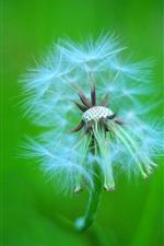 Dandelion photography, green background