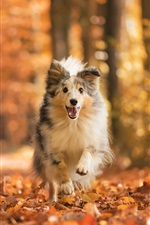 Dog running, leaves, forest, autumn