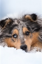 Dog sleep in snow, front view