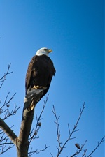 Preview iPhone wallpaper Eagle, bird, blue sky