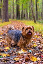 Preview iPhone wallpaper Furry dog, walk in the park, leaves, trees, autumn