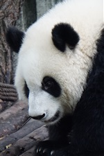 Preview iPhone wallpaper Furry panda, lovely