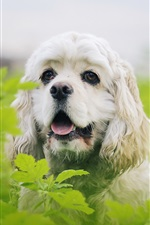 Preview iPhone wallpaper Furry white dog, green leaves