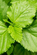 Preview iPhone wallpaper Green leaves, dew, fresh
