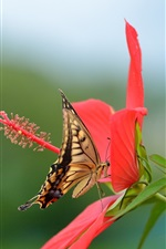 Preview iPhone wallpaper Hibiscus, red flower, butterfly, swallowtail