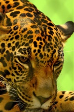 Preview iPhone wallpaper Jaguar rest, zoo