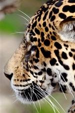 Preview iPhone wallpaper Jaguar, wildlife, face, side view