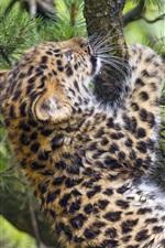 Preview iPhone wallpaper Leopard cub climbing tree