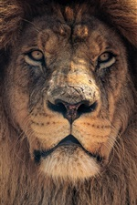 Lion front view, mane, king