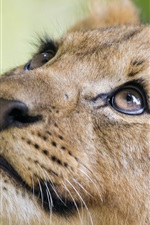 Preview iPhone wallpaper Lion look up, head, face