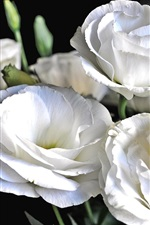 Preview iPhone wallpaper Lisianthus white flowers