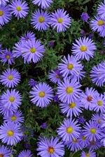 Preview iPhone wallpaper Many blue aster flowers