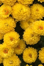 Preview iPhone wallpaper Many yellow chrysanthemum flowers