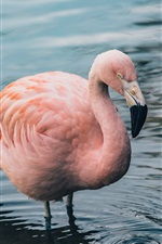 Preview iPhone wallpaper One flamingo standing in water