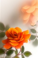 Orange rose flowers, white background