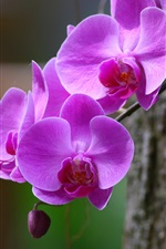 Preview iPhone wallpaper Orchid, phalaenopsis, purple flowers