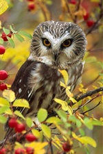 Preview iPhone wallpaper Owl, red berries, tree