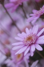 Preview iPhone wallpaper Pink chamomile flowers, bokeh
