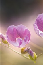 Preview iPhone wallpaper Pink mallow flowers