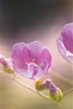 iPhone fondos de pantalla Flores de malva rosa