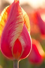 Preview iPhone wallpaper Pink tulip, flowers, backlight