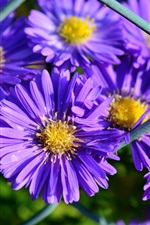 Preview iPhone wallpaper Purple petals, aster, flowers