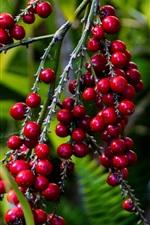 Bagas vermelhas, galhos, frutas