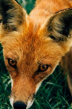 Preview iPhone wallpaper Red fox walk in the grass