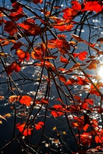 Preview iPhone wallpaper Red leaves, twigs, sunshine, glare, autumn