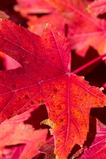 Preview iPhone wallpaper Red maple leaves, nature, autumn