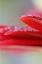 Preview iPhone wallpaper Red petals flower macro photography, water drops