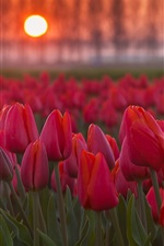 Red tulips flowers at sunset