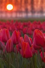 iPhone壁紙のプレビュー 夕日に赤いチューリップの花