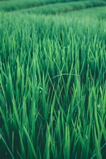 Preview iPhone wallpaper Rice field, green leaves