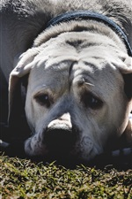 Preview iPhone wallpaper Sadness dog