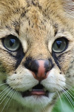 Preview iPhone wallpaper Serval, wild cat, face, eyes