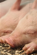 iPhone fondos de pantalla Cerdos durmientes