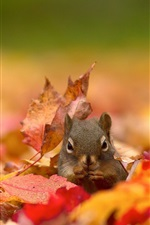 Preview iPhone wallpaper Squirrel, red maple leaves, autumn