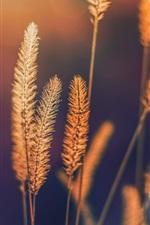 Preview iPhone wallpaper Summer grass, setaria