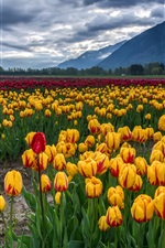 Preview iPhone wallpaper Tulips field, mountains, clouds