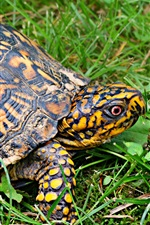 Tartaruga, grama