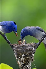 Preview iPhone wallpaper Two blue birds, feeding, tree