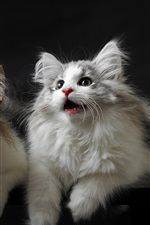 Preview iPhone wallpaper Two furry kittens, look