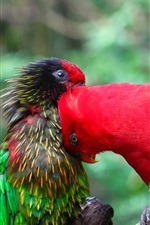Preview iPhone wallpaper Two parrots, colorful feathers, friends