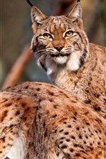 Preview iPhone wallpaper Two wild cats, lynx