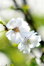 White cherry flowers, twigs, spring