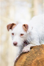 White dog, stump