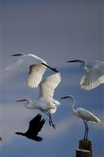 iPhone обои Белые птицы птиц, крылья